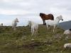 Eiskein ponies