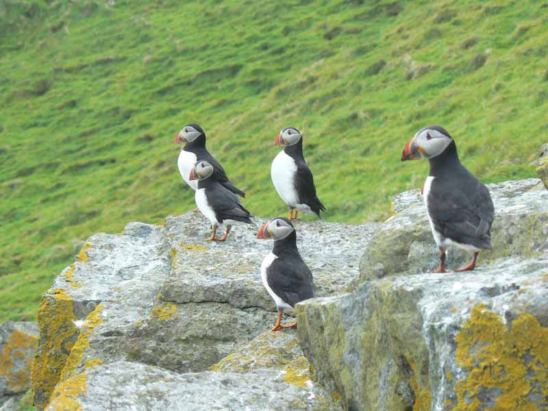 Puffins on the Shiants